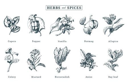 Insieme di vettore di spezie ed erbe aromatiche disegnato. Illustrazioni botaniche di piante organiche, eco. Utilizzato per l'adesivo della fattoria, l'etichetta del negozio, ecc. Vettoriali