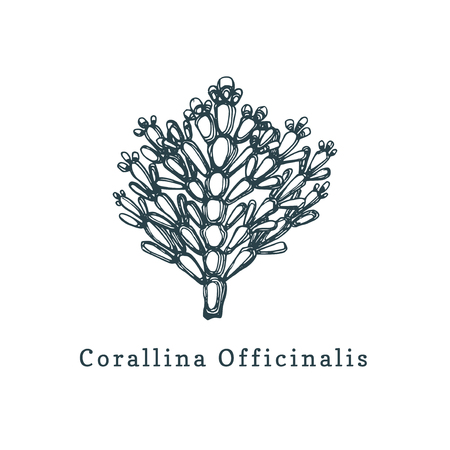 Corallina Officinalis vector illustration. Drawing of calcareous red seaweed on white background.