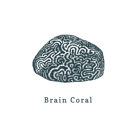 Brain coral vector illustration. Drawing of sea polyp on white background.