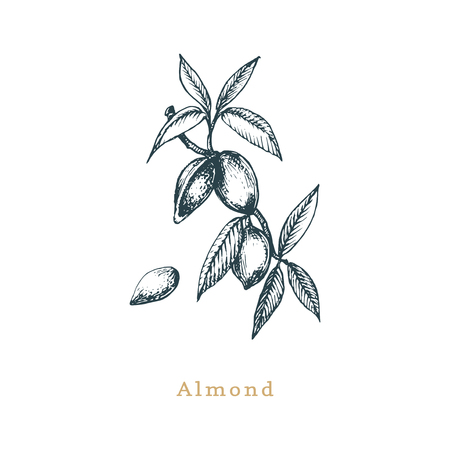 Botanical illustration of almond branch. Seed sketch in vector. Drawn organic food, eco plant in engraving style. Used for farm sticker, shop label etc. Vettoriali