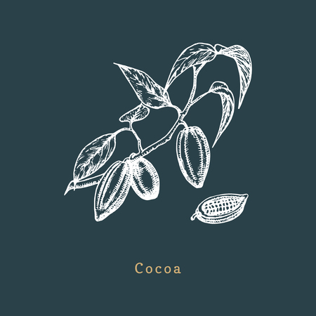 Botanical illustration of cacao bean. Cocoa branch sketch in vector. Drawn organic food, eco plant in engraving style. Used for farm sticker, shop label etc. Ilustração