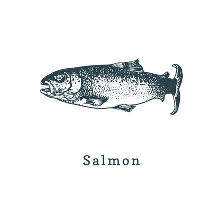 Illustration of salmon. Fish sketch in vector. Drawn seafood in engraving style. Used for canning jar sticker, shop label etc.
