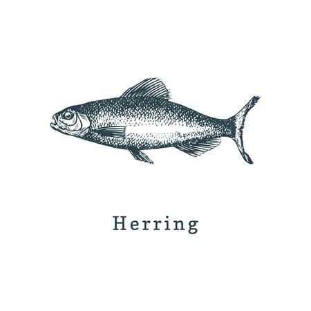 Illustration de hareng. Croquis de poisson en vecteur. Fruits de mer dessinés dans un style de gravure. Utilisé pour l'autocollant de pot de conserve, l'étiquette de magasin, etc.