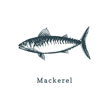 Illustration of mackerel. Fish sketch in vector. Drawn seafood in engraving style. Used for canning jar sticker, shop label etc. Ilustrace
