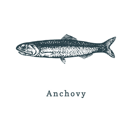 Illustration of anchovy. Fish sketch in vector. Drawn seafood in engraving style. Used for canning jar sticker, shop label etc. Vettoriali
