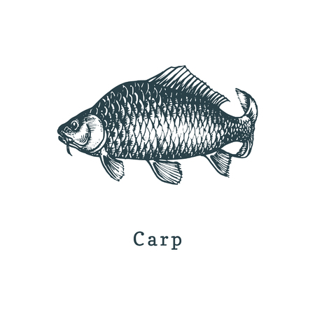 Illustration of carp. Fish sketch in vector. Drawn seafood in engraving style. Used for canning jar sticker, shop label etc.