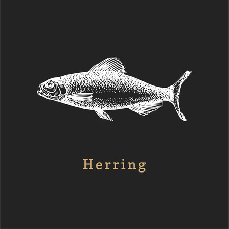 Illustration of herring on black background. Fish sketch in vector. Drawn seafood in engraving style. Used for canning jar sticker, shop label etc.