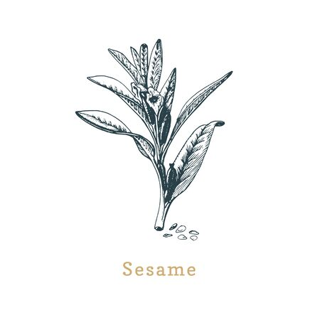 Vector Sesame sketch. Drawn spice herb in engraving style.