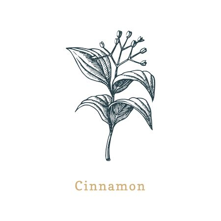 Vector Cinnamon sketch. Drawn spice herb in engraving style.