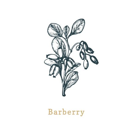 Vector Barberry sketch. Drawn spice herb in engraving style. Botanical illustration of organic, eco plant.