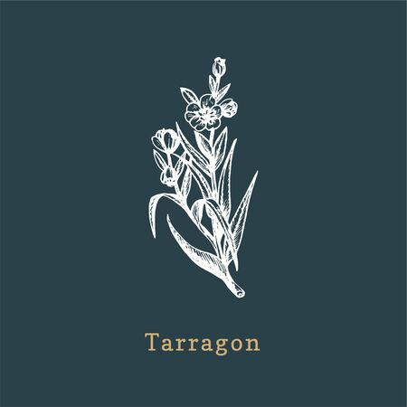 Vector Tarragon sketch. Drawn spice herb in engraving style. Botanical illustration of organic, eco plant. Used for farm sticker, shop label etc.