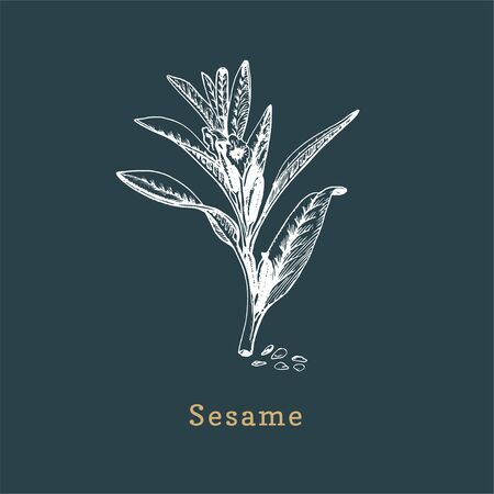 Vector Sesame sketch. Drawn spice herb in engraving style. Botanical illustration of organic, eco plant.