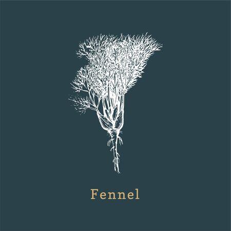 Vector Fennel sketch. Drawn spice herb in engraving style. Botanical illustration of organic, eco plant. Used for farm sticker, shop label etc. Ilustração