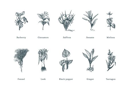 Drawn spice herbs set in engraving style. Ilustração
