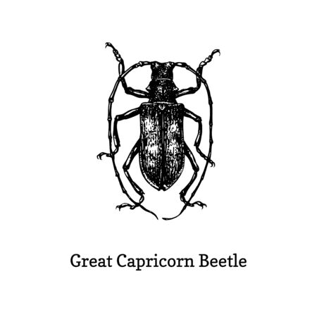 Illustration of Great Capricorn beetle. Ilustrace