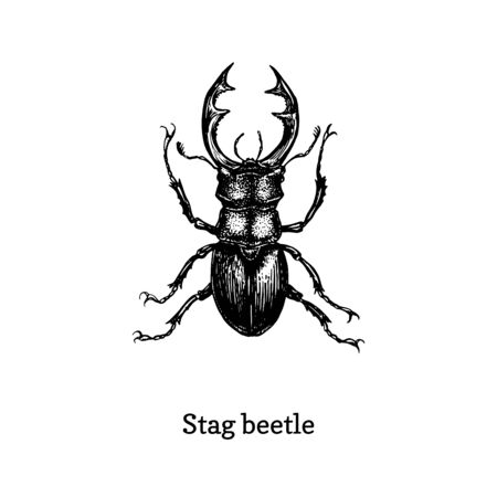 Illustration of Stag beetle. Drawn insect in engraving style.