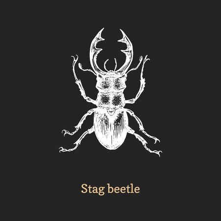 Illustration of Stag beetle. Drawn insect in engraving style