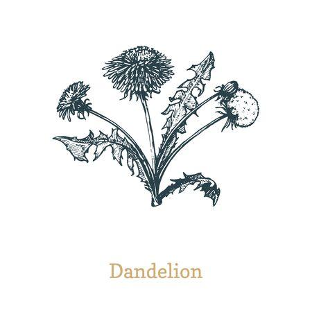 Dandelion vector illustration.Hand drawn sketch of Taraxacum wild flower in engraving style. Botanical plant isolated.
