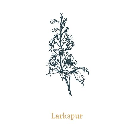 Delphinium vector illustration. Hand drawn sketch of Larkspur wild flower in engraving style. Botanical plant isolated
