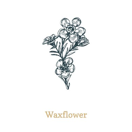 Waxflower Drawn sketch of Chamelaucium wild flower in engraving style. Ilustrace
