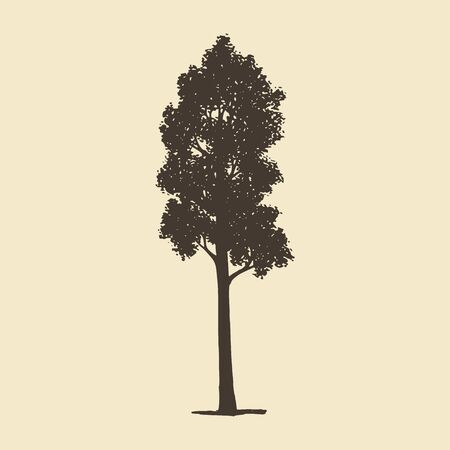 Aspen or Maple, hand drawn silhouette. Vector sketch of deciduous tree.