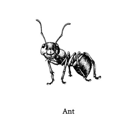 Illustration of Red Wood Ant. Drawn insect in engraving style. Sketch in vector. Ilustrace