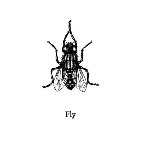 Fly vector illustration. Hand drawn sketch of insect in vintage style