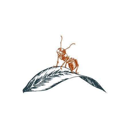 Ant sitting on a leaf, graphic illustration in vector. Hand-drawn insect in engraving style Ilustrace
