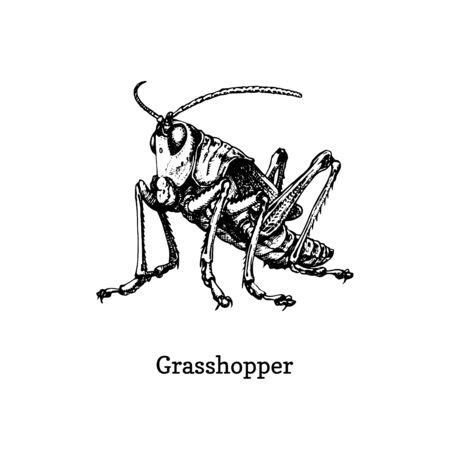 Illustration of a Grasshopper. Drawn insect in engraving style. Sketch in vector. Ilustrace