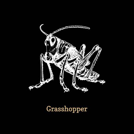 Illustration of a Grasshopper on black background. Drawn insect in engraving style. Sketch in vector.