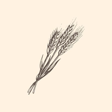 The illustration of an ear of wheat in vector. Drawn a rye spike in the engraving style.