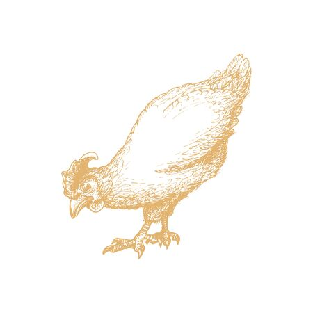 Hand drawn hen in engraving style. Graphic illustration of chicken in vector. Ilustrace