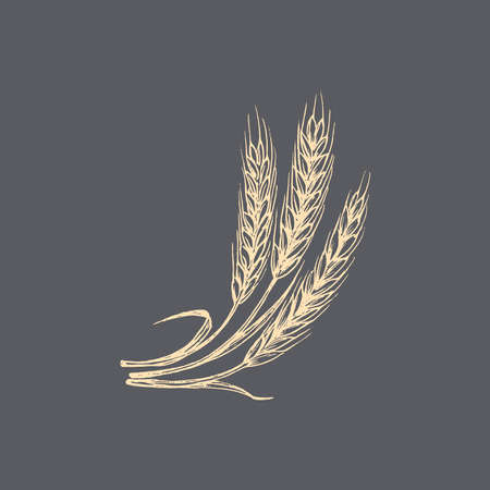 Wheat ear graphic illustration in vector. Drawn rye spike in the engraving style.
