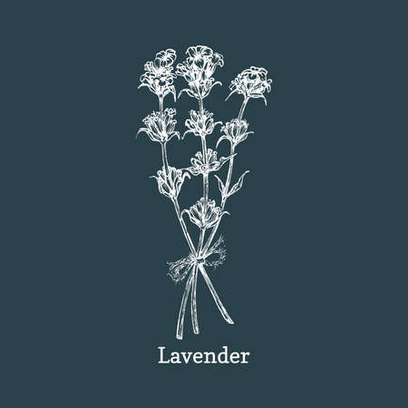 Lavender sketch in vector. Drawn aromatic herb.