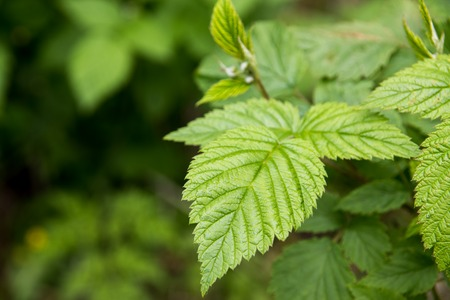 elasticidad: Hoja verde en un arbusto de frambuesa