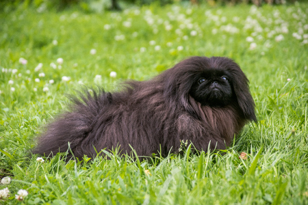 Cute black puppy pekingese dog sitting on the green grass