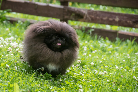 Black pekingese dog sitting on the grass
