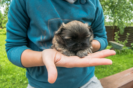 Small puppy pekingese dog sitting in woman hand