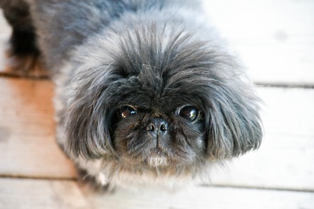 Close up portrait of a cute pekingese dog looking at the camera. Top view Фото со стока
