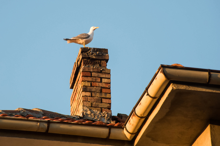 Seagull on pipe on the house roof in sunset