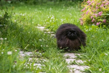 Black pekingese dog sitting on the grass