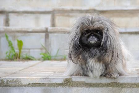 Sweet scared and sad pekingese dog sitting in front