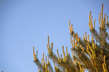 Branch of spruce with new shoots against the blue sky