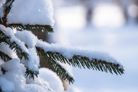 Snow covered spruce branch in sun light Imagens