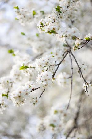 feuille arbre: fleurs de printemps jardin branche d'arbre