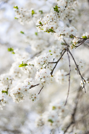 tree fruit: garden tree branch spring flowers Stock Photo