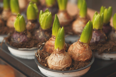 Allium flower: Flower bulbs in pots ready for planting in the flowerbed. Close up Stock Photo