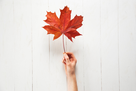 A girl is holding a fallen red color maple leaf on a white background. Autumn or Canadian concept. Top view Stock Photo