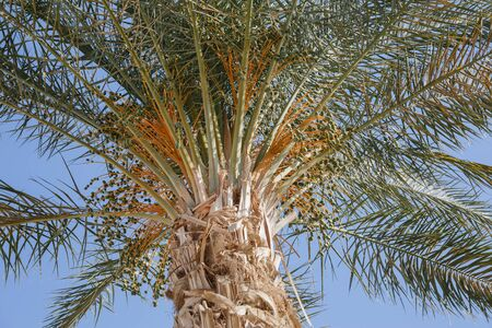 Date Palm with Unripe Clusters of Fruits.