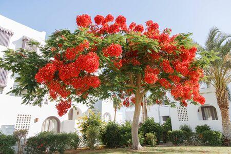 delonix regia tree blooming red flowers. Egypt